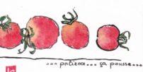 Mini tomates